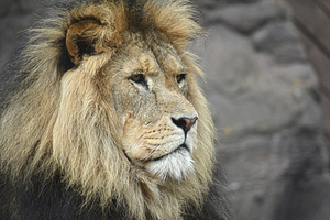 Male lion looking in the distance