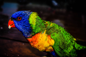 Colorful lorikeet