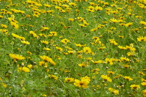 Yellow flowers and grass