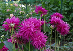Dahlias in flowerbed