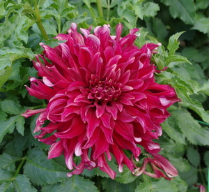 Dahlia on green leaves