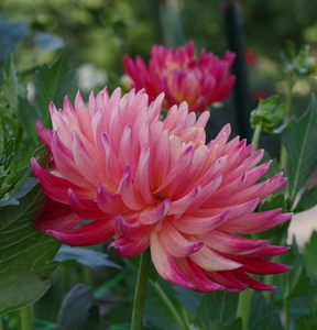 Pale pink Dahlias in the park