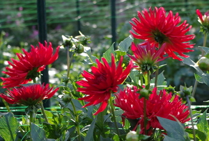 Dahlias with buds in flowerbed