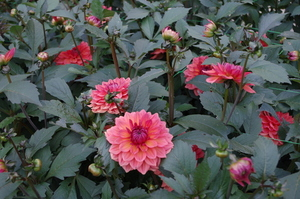 Dahlias and buds, close up.
