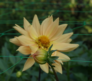 Dahlia and flower bud
