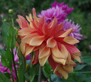 Colorful Dahlias in summer garden
