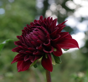 Dahlia flower on long stalk