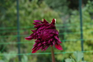 Pink Dahlia starting to open up