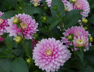 Dahlias in summer garden