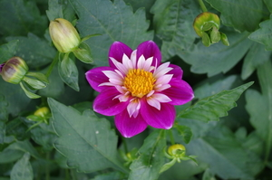Small colorful Dahlia flower