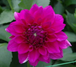 Dahlia flower with pink petals