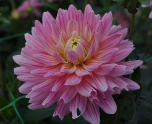 Image of lilic Dahlia close up