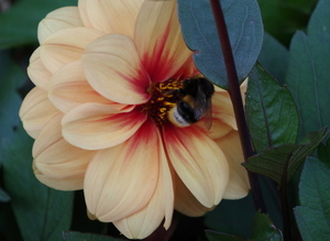 Dahlia flower and a bee