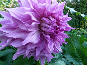 Dahlia in beautiful purple color