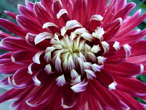 Dahlia flower in blooming process