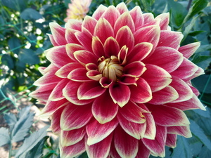 Dahlia flower with red leaves