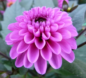 Dahlia purple flower