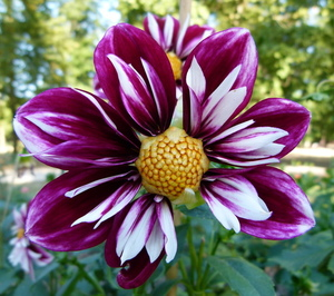 Displayed Dahlia flower