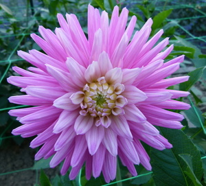 Lilac Dahlia on display in Paris