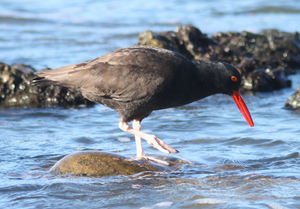 Oyster catcher feeding