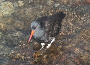 Oystercatcher bird