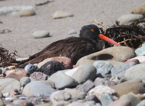 Oystercatcher bird black