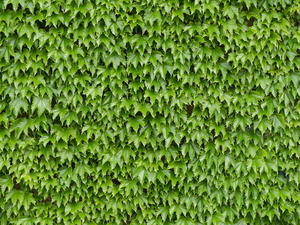 Wall of Green Leaves