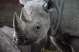 Image of Black Rhinoceros