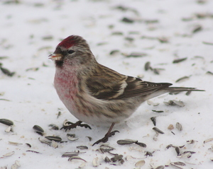 The Common Redpoll