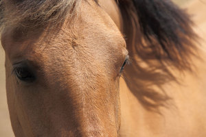 Eyes Of A Brown Horse