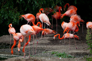 Flamingos in a Zoo