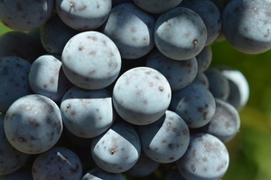 Black wine grapes