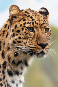 Head of a leopard