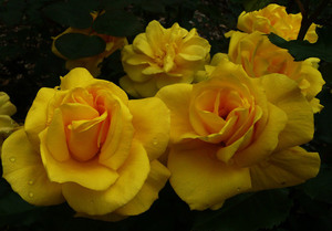 Yellow roses close up