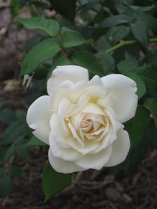 One white rose in the garden