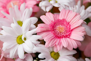 Gerberas and Chrysanthemums