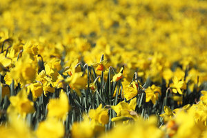 Numerous daffodils in field