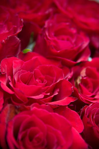 Bunch of roses, macro photo
