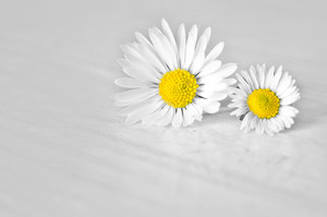 Two daisy flowers isolated