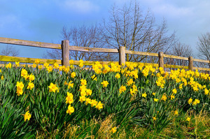 Yellow flowers and wooden fence