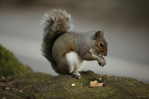 Squirrel with hazelnut outdoor in nature