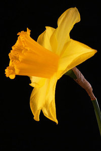 Single daffodil isolated