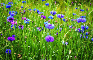Cornflowers on spring meadow