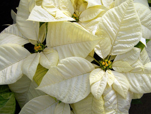 White poinsettias top view