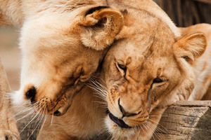 Two cuddling lions
