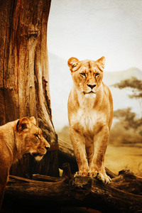 Female lions in Africa