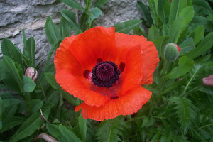 Single poppy among leaves