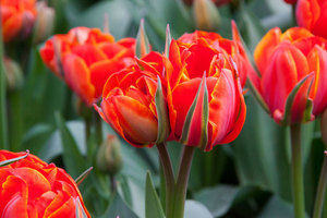 Beautiful tulip flowers