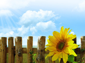 Sunflower and wooden fence