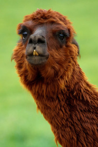 Portrait of brown llama